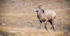 Montana considers an experimental bighorn sheep herd in Bridger Mountains