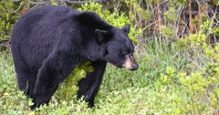 New Montana bill proposes use of dogs for bear hunting