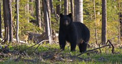 Waiting period no longer required after purchasing black bear hunting license in Montana
