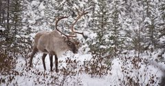 Rare caribou spotted in northwest Montana