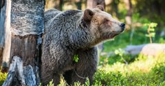 Montana governor forms Grizzly Bear Advisory Council