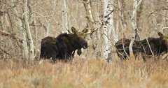 Moose in Nevada