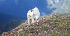 Mountain goat population steady in Selkirk Mountains