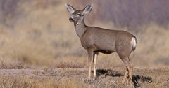 "Mule deer ""poached"" by unusual culprit"