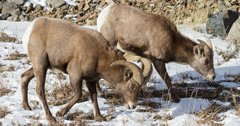 Nebraska bighorn sheep collared for disease monitoring