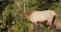 Oregon reduces elk tags for Starkey Experimental Forest