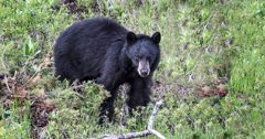 Nevada charges three with poaching black bear in Pinenut Mountains