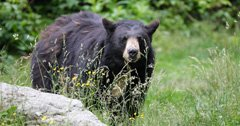 New bear bait registration in Wyoming has been delayed due to COVID-19
