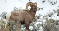 Respiratory disease claims most of Antelope Island's bighorn sheep