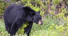 More bear opportunity in Utah
