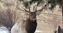 Utah man pleads guilty to poaching elk