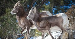 Washington bighorn sheep are healthy