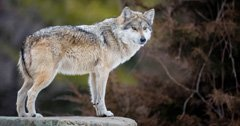 Group sues Washington over wolf deaths