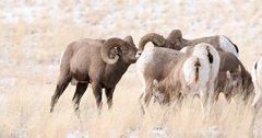 Backcountry skiing can impact bighorn sheep health