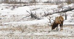 Groups sue over supplemental feeding program in National Elk Refuge