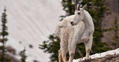 Grand Teton mountain goat cull underway