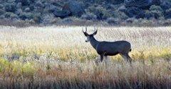 Wyoming man sentenced for poaching mule deer