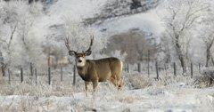 Wyoming ensures mule deer migration route safe