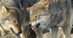 Wyoming's wolf season is over